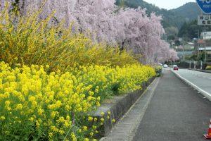 神山町内にはやく5,000本の枝垂桜が(2017.4)