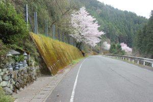 遍路道沿いの櫻(2017.4)