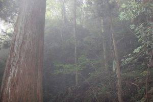 標高670mからの下り。巨木が(2017.9)